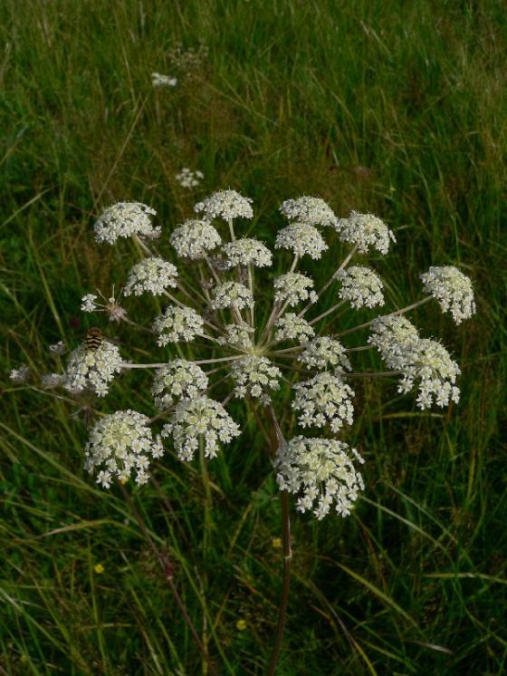 Hladýš pruský pravý (Laserpitium prutenicum), PR Niva Doubravy [HB], 10.8.2008, foto Luděk Čech