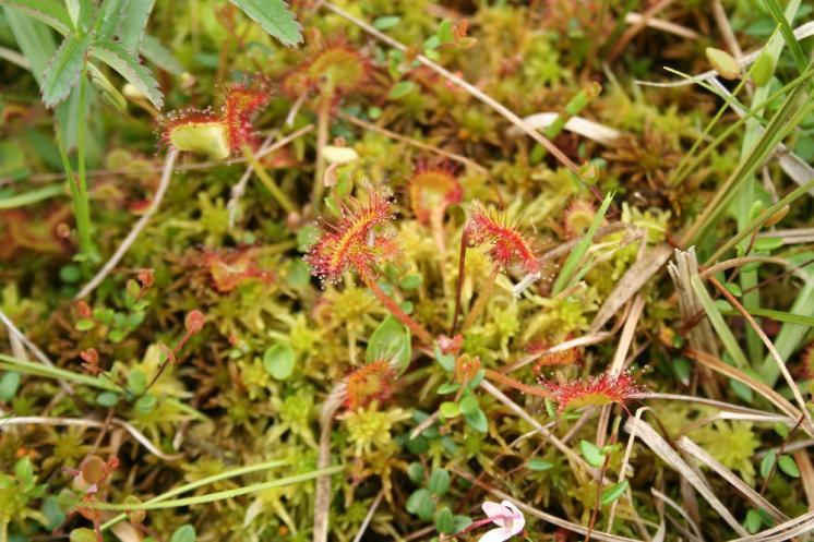Rosnatka okrouhlolistá (Drosera rotundifolia), PR Rašeliniště Kaliště [JI], 14.6.2011, foto Libor Ekrt