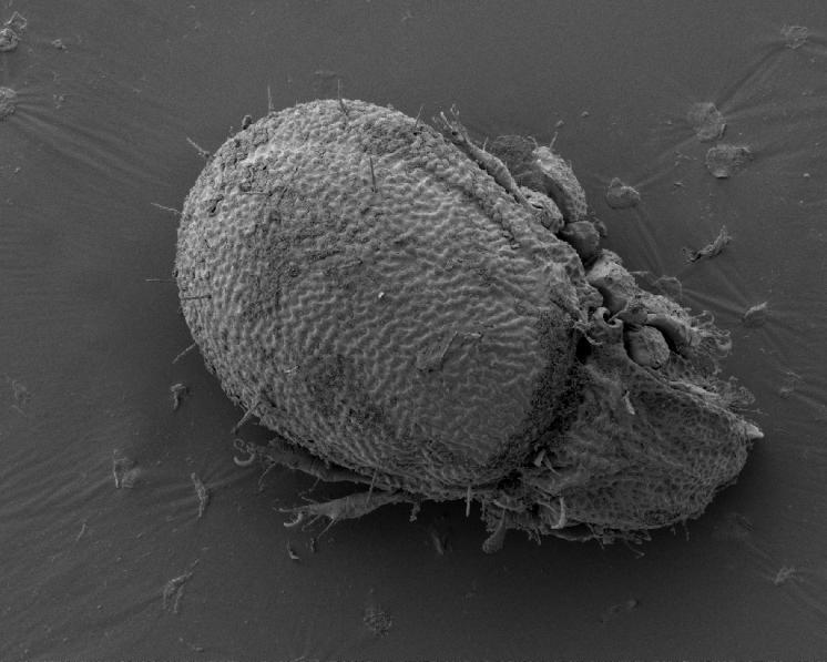 Pancířník Carabodes labyrinthicus (Michael, 1879) – silvikolní, euryhygrický, makrofytofágní druh rozšířený v celé Holarktické oblasti a Mexiku, preferující trouchnivějící dřevo padlých kmenů a pařezů, na jehož dekompozici se podílí. Poměrně hojný druh nalezený celkem na 25 lokalitách v Kraji Vysočina. Pohled na dorsální stranu těla. Velikost těla 430-580 µm, foto Josef Starý.