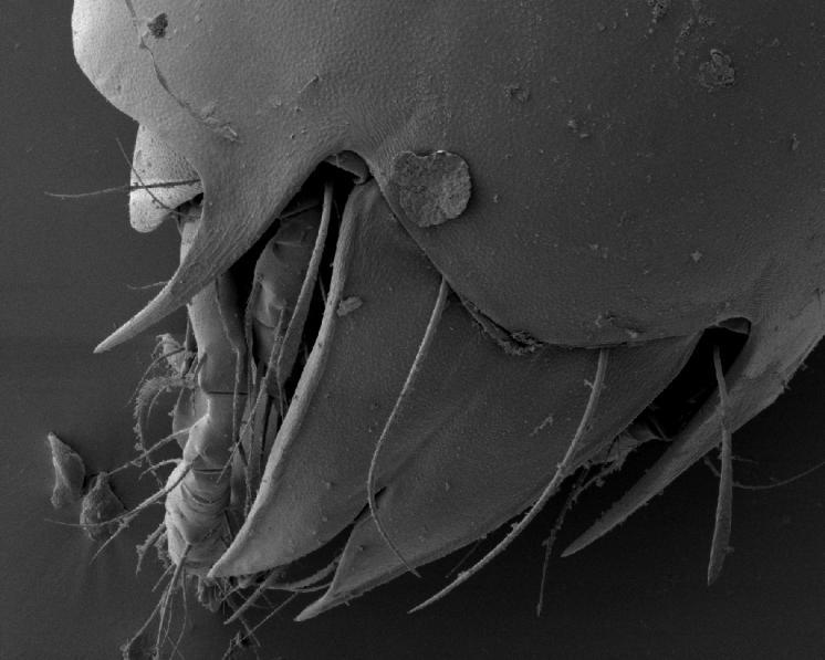 Pancířník Achipteria coleoptrata (Linnaeus, 1758) – pohled na prodorsum, přední část těla s výraznými srostlými lamelam, sensilem a výraznými ostrými výběžky notogasteru charakteristickými pro čeleď Achipteriidae, chránící baze končetin, foto Josef Starý.