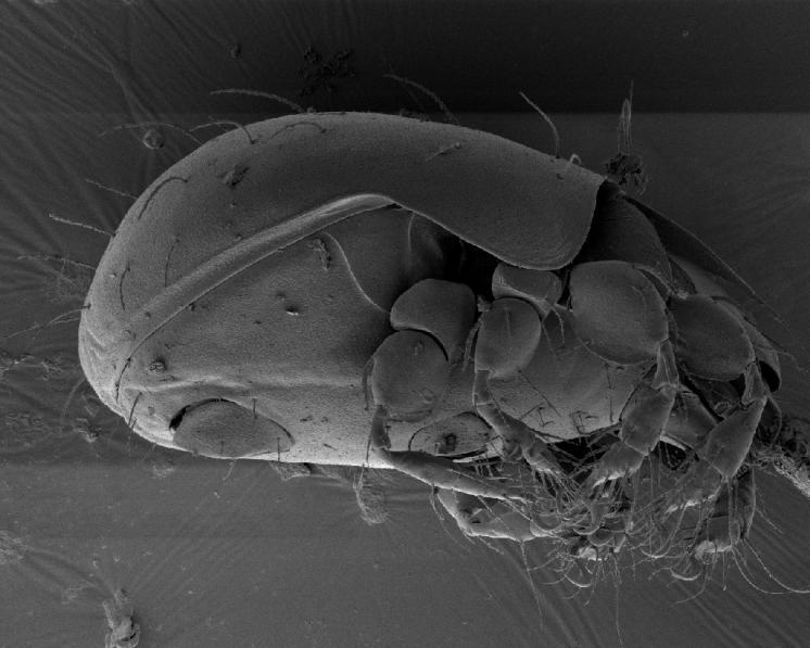 Pancířník Melanozetes meridianus Sellnick, 1928 – laterální pohled na tělo, s análními a genitálními destičkami, se 4 páry kráčivých končetin a výraznými pteromorfami chránícími bazální články končetin, foto Josef Starý.