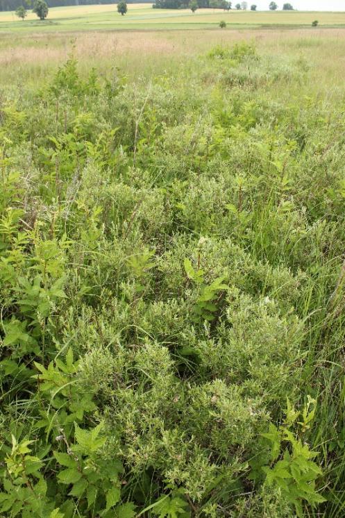 Vrba rozmarýnolistá (Salix rosmarinifolia), Švábov [JI], 18.6.2015, foto Ester Ekrtová