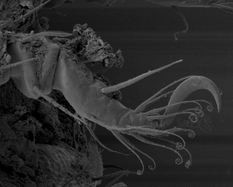 Pancířník Hermannia gibba (C.L.Koch, 1839) – pohled na chodidlo a holeň druhého páru nohy a jedním drápkem, sensilem a ochrannými chlupy, foto Josef Starý.