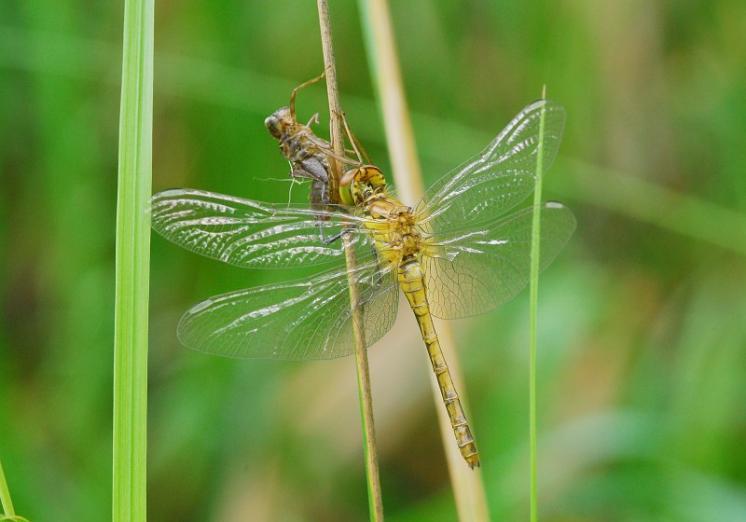 Vážka rudá (Sympetrum sanguineum), PP Ptáčovské rybníky, Ptáčov, foto Václav Křivan