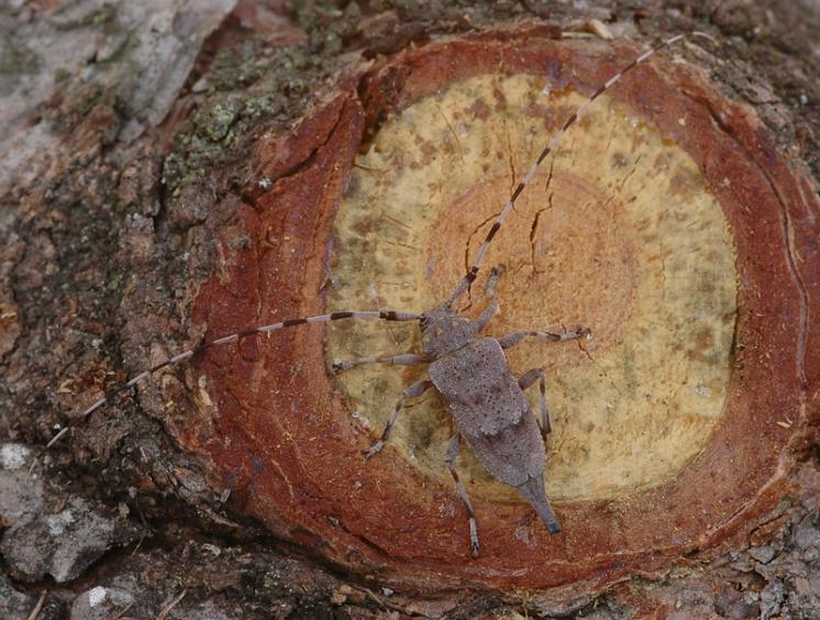 Kozlíček dazule (Acanthocinus aedilis), Třebíč, foto Václav Křivan