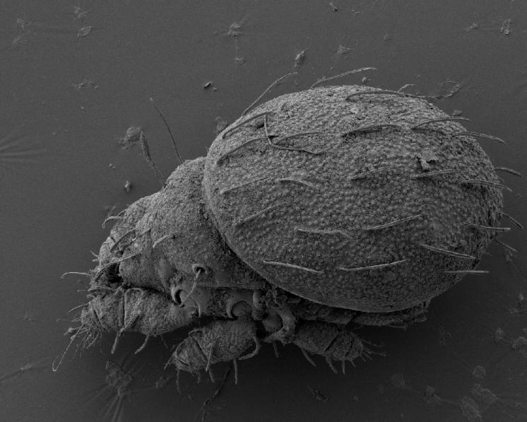 Pancířník Hermannia gibba (C.L.Koch, 1839) – silvikolní, euryhygrický druh rozšířený v celé Holarktické oblasti. Poměrně hojný druh preferující jehličnatý a listový opad, nalezený celkem na 27 lokalitách v Kraji Vysočina. Pohled na dorsální stranu těla. Velikost těla 780-940 µm, foto Josef Starý.