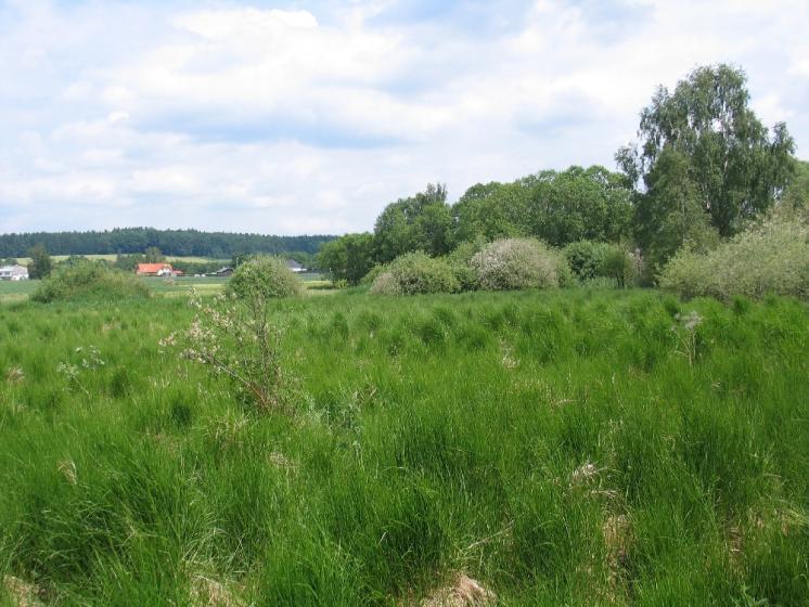 Mokřad u Bělokamenského rybníka obývá početná populace mravence rašelinného (Formica picea), foto Pavel Bezděčka.