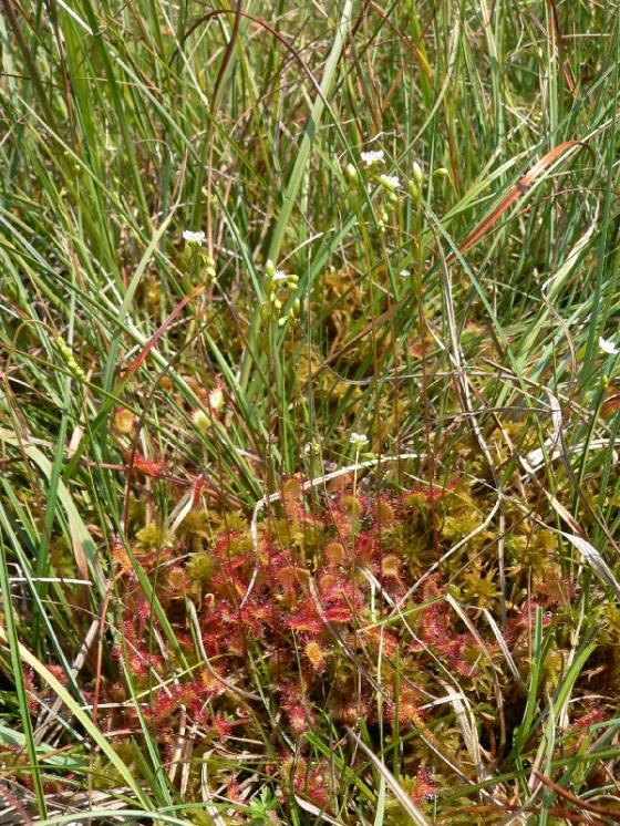 Rosnatka okrouhlolistá (Drosera rotundifolia), Odranec [ZR], 18.7.2014, foto Luděk Čech