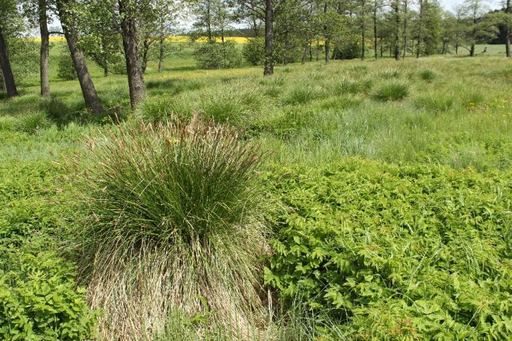 Ostřice odchylná (Carex appropinquata), PR Na podlesích [TR], 26.5.2013, foto Libor Ekrt