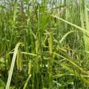 Ostřice nedošáchor (<i>Carex pseudocyperus</i>), Frejlach, 26.6.2009, foto Vojtěch Kodet
