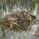 Hnízdo potápky roháče (<i>Podiceps cristatus</i>), Starý ryb., PP Ptáčovské rybníky, 20.5.2010, foto Vojtěch Kodet