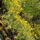 Tařice skalní pravá (<i>Aurinia saxatilis</i>), PR Údolí Oslavy a Chvojnice [TR], 23.4.2011, foto Jan Roleček