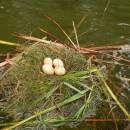 Hnízdo potápky roháče (<i>Podiceps cristatus</i>), Zdislavický rybník, 18.6.2015, foto Vojtěch Kodet