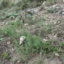 Chruplavník větší (<i>Polycnemum majus</i>), Šemíkovice, Knížecí seč [TR], 14.8.2016, foto Libor Ekrt