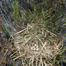 Hnízdo lysky černé (<i>Fulica atra</i>), Váňovský rybník, 4.6.2016, foto Vojtěch Kodet