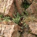 Podmrvka hadcová (<i>Notholaena maranthae</i>), NPR Mohelenská hadcová step [TR], 15.7.2012, foto Libor Ekrt