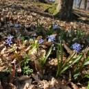 Ladoňka dvoulistá pravá rakouská (<i>Scilla bifolia subsp. bifolia var. drunensis</i>), Plešice, Staré Duby [TR], 10.4.2015, foto Libor Ekrt