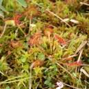 Rosnatka okrouhlolistá (<i>Drosera rotundifolia</i>), PR Rašeliniště Kaliště [JI], 14.6.2011, foto Libor Ekrt