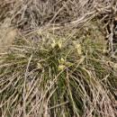 Ostřice nízká (<i>Carex humilis</i>), NPR Mohelenská hadcová step [TR], 23.4.2015, foto Libor Ekrt