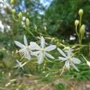 Bělozářka větvená (<i>Anthericum liliago</i>), PR Mohelnička, 29.7.2016, foto Vojtěch Kodet