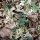 Řeřišnice trojlistá (<i>Cardamine trifolia</i>), PR Habrová seč, 6.4.2014, foto Vojtěch Kodet