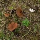 Hlízenka sasanková (<i>Dumontinia tuberosa</i>)