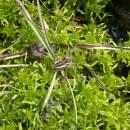 Lovčík vodní (<i>Dolomedes fimbriatus</i>), rašeliniště Pod Trojanem, 4.5.2006, foto Vojtěch Kodet