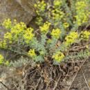Pryšec sivý menší (<i>Euphorbia seguieriana subsp. minor</i>), NPR Mohelenská hadcová step [TR], 29.4.2014, foto Libor Ekrt