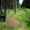 Rašelinná louka Pihoviny hostí nejen populaci mravence rašelinného (<i>Formica picea</i>), ale při lesním okraji i mravence (<i>Formica lugubris</i>), foto Pavel Bezděčka.