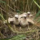 Hnízdo s mláďaty motáka pochopa (<i>Circus aeruginosus</i>), Bazanovec, 20.6.2010, foto Vojtěch Kodet