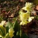 Prvosenka vyšší (<i>Primula elatior</i>), PR Habrová seč, 7.4.2015, foto Vojtěch Kodet