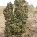Jalovec obecný (<i>Juniperus communis</i>), NPR Mohelenská hadcová step [TR], 14.4.2015, foto Libor Ekrt