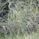 Ledňáček říční (<i>Alcedo atthis</i>), PP Starý Přísecký rybník, 22.10.2010, foto Vojtěch Kodet