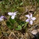 Violka písečná pravá (<i>Viola rupestris</i>), NPP Švařec [ZR], 24.4.2008, foto Luděk Čech