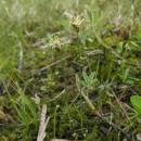 Ostřice šlahounovitá (<i>Carex chordorrhiza</i>), PR Rašeliniště Kaliště, 2.5.2012, foto Vojtěch Kodet