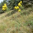 Hvězdnice zlatovlásek (<i>Galatella linosyris</i>), NPR Mohelenská hadcová step [TR], 25.8.2005, foto Luděk Čech
