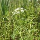 rozpuk jízlivý (Cicuta virosa)