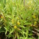 Vrbina kytkokvětá (<i>Lysimachia thyrsiflora</i>), Třeštický rybník, 11.6.2015, foto Vojtěch Kodet