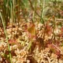 Rosnatka okrouhlolistá (<i>Drosera rotundifolia</i>), NPR Radostínské rašeliniště, 3.6.2015, foto Vojtěch Kodet