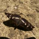 Batolec duhový (<i>Apatura iris</i>), Vílanecká střelnice, 6.7.2011, foto Vojtěch Kodet