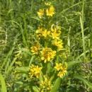 Vrbina obecná (<i>Lysimachia vulgaris</i>), Starohorský mokřad, 6.7.2010, foto Vojtěch Kodet