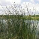 Skřípinec jezerní (<i>Schoenoplectus lacustris</i>), ryb. Židloch, PP Ptáčovské rybníky, 5.7.2010, foto Vojtěch Kodet
