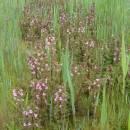 Ponechání nepokosených rostlin kriticky ohroženého všivce bahenního je velmi účinnou metodou pro podporu vysemenění druhu a růst jeho početnosti na lokalitě (foto Ester Ekrtová).