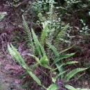 Žebrovice různolistá (<i>Blechnum spicant</i>), Třešť, Stonařovský rybník [JI], 12.6.2007, foto Luděk Čech