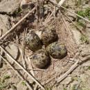Hnízdo čejky chocholaté (<i>Vanellus vanellus</i>), PP Podvesník, 18.5.2015, foto Vojtěch Kodet