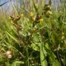 Kokrhel menší (<i>Rhinanthus minor</i>), Vílanecká střelnice, 6.7.2011, foto Vojtěch Kodet