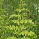 Kapradiník bažinný (<i>Thelypteris palustris</i>), PR V Lisovech [JI], 28.6.2006, foto Luděk Čech