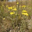 Smil písečný (<i>Helichrysum arenarium</i>), Ptáčovské rybníky, 17.7.2011, foto Vojtěch Kodet