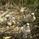 Hnízdo s mláďaty motáka pochopa (<i>Circus aeruginosus</i>), ryb. Židloch, PP Ptáčovské rybníky, 6.6.2011, foto Vojtěch Kodet
