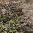 Mateřídouška časná pravá (<i>Thymus praecox</i>), NPR Mohelenská hadcová step [TR], 10.6.2015, foto Libor Ekrt